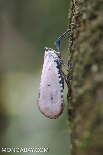 White planthopper with orange eyes