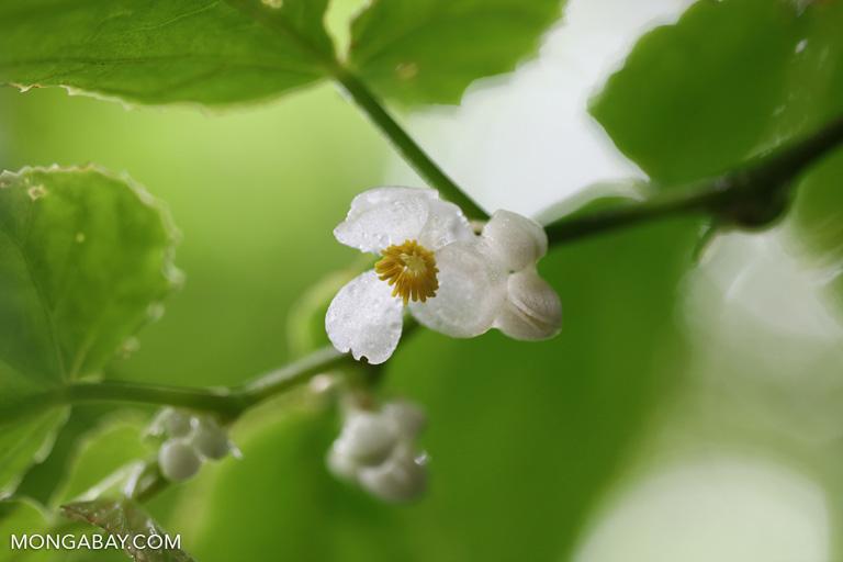 Ficus ischnopoda flower