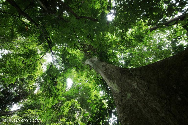 Chinese rainforest canopy tree