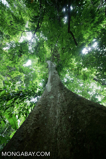 Chinese rainforest canopy tree