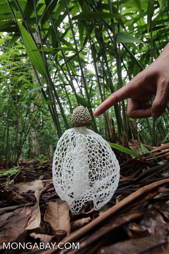 Bamboo fungus (Phallus indusiatus) in Xishuangbanna, Yunnan.