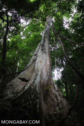 Rainforest tree in China