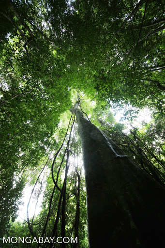 Rainforest tree in China