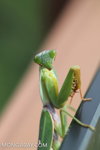 Green mantis
