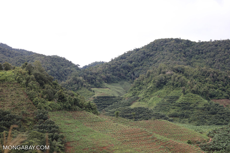 Bananas, rubber, and natural forest in China
