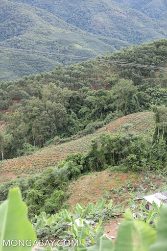 Forest being cleared for bananas in China