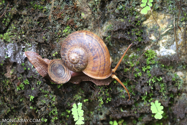 Chinese snail
