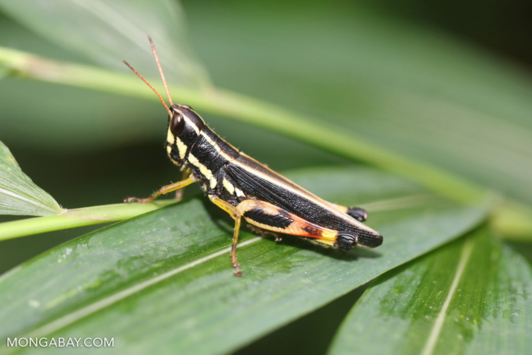 Yellow, black and green grasshopper