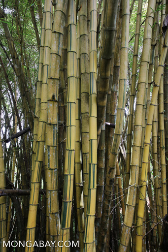 Bamboo in China