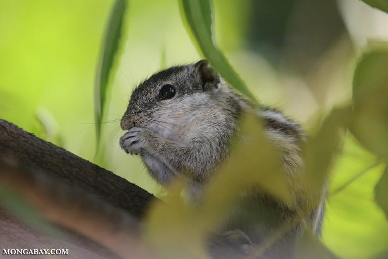 Five-striped palm squirrel (Funambulus pennantii)