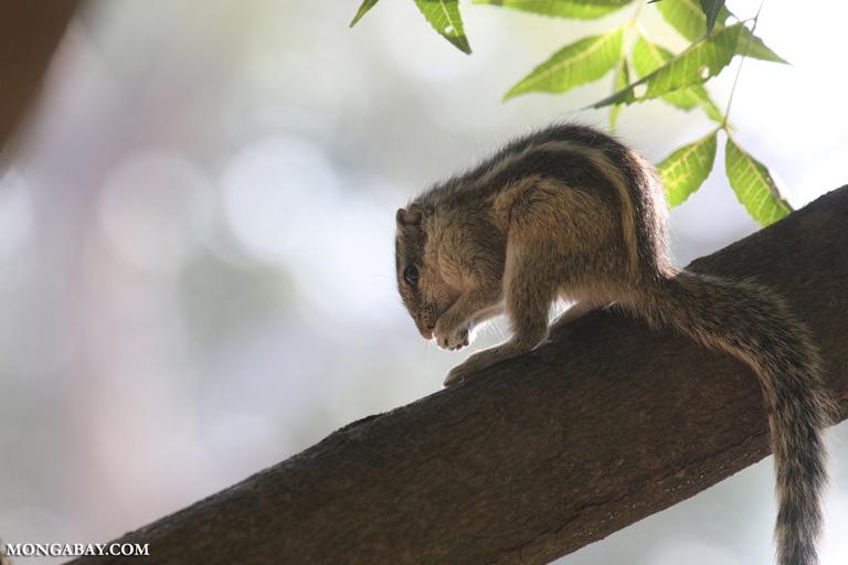 Northern palm squirrel (Funambulus pennantii)