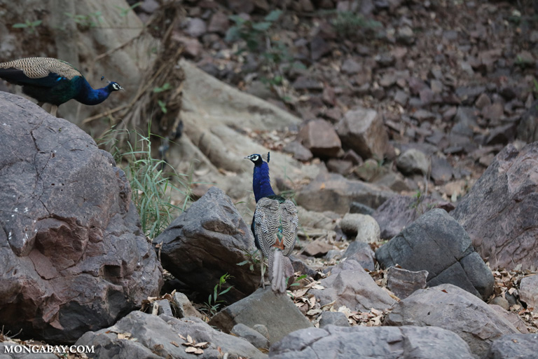 Peacock in Ranthambore