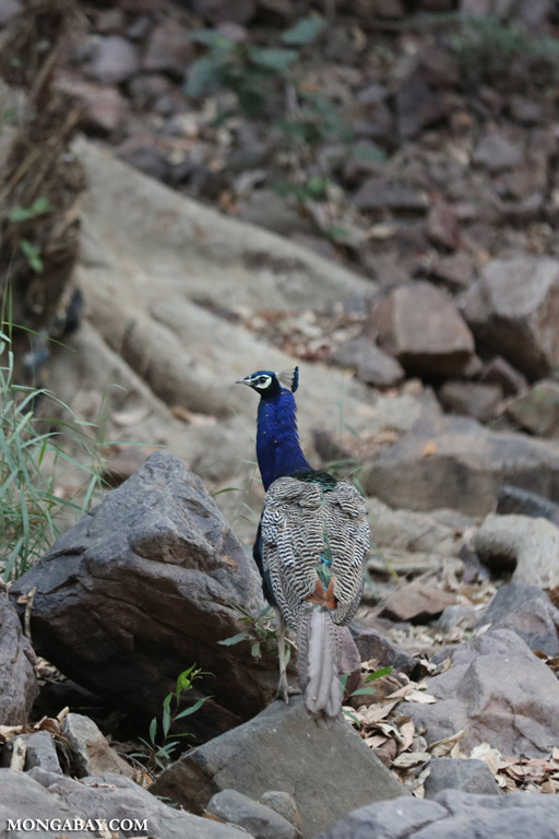 Peacock in Ranthambore