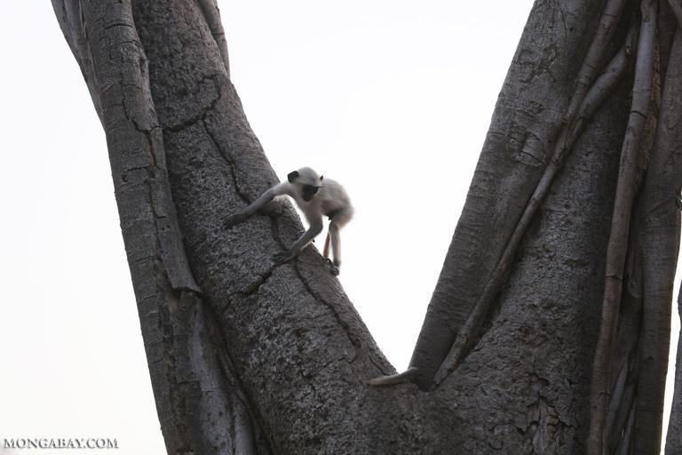 Common langurs in Ranthambore