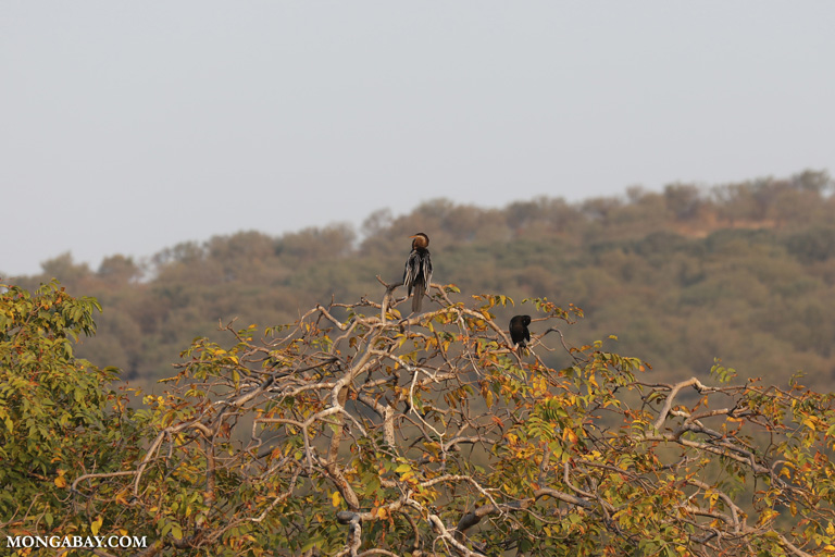 Water-Turkey atop a tree