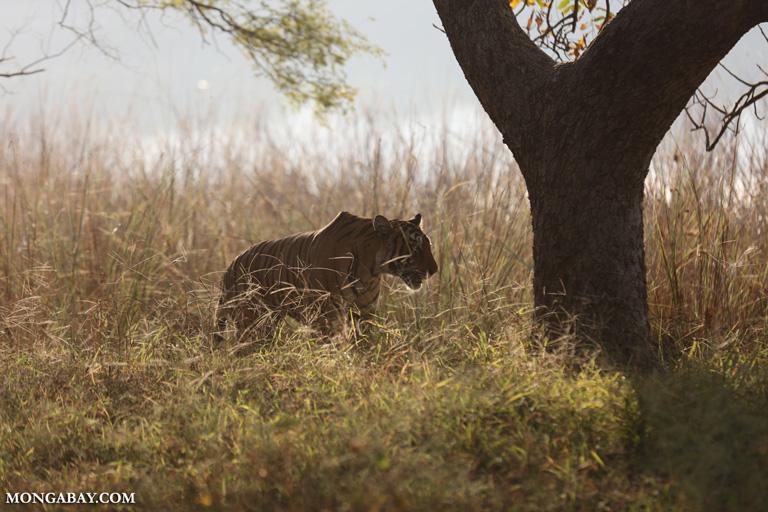 Female tiger at dawn