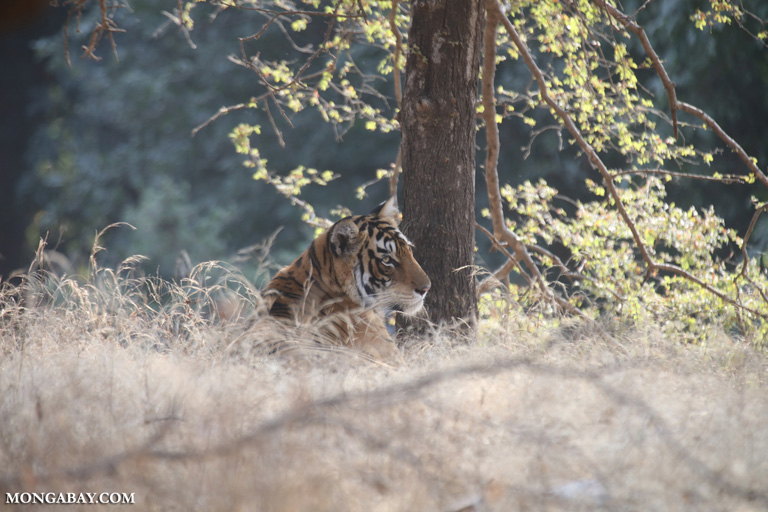 Tiger in Ranthambore