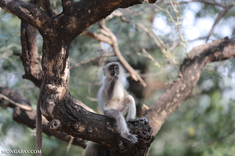 Baby gray langur
