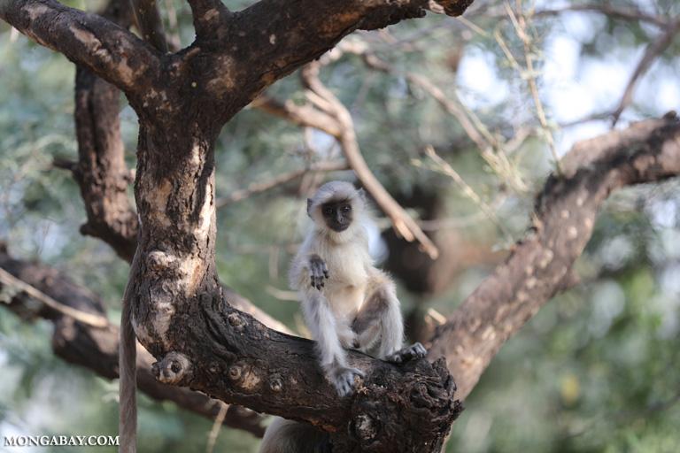 Baby common langur