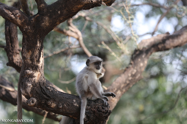Baby common langur