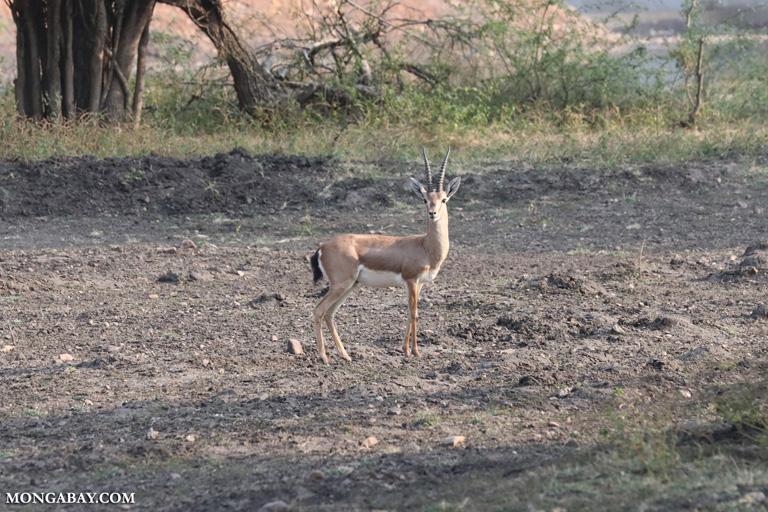 Male Indian gazelle