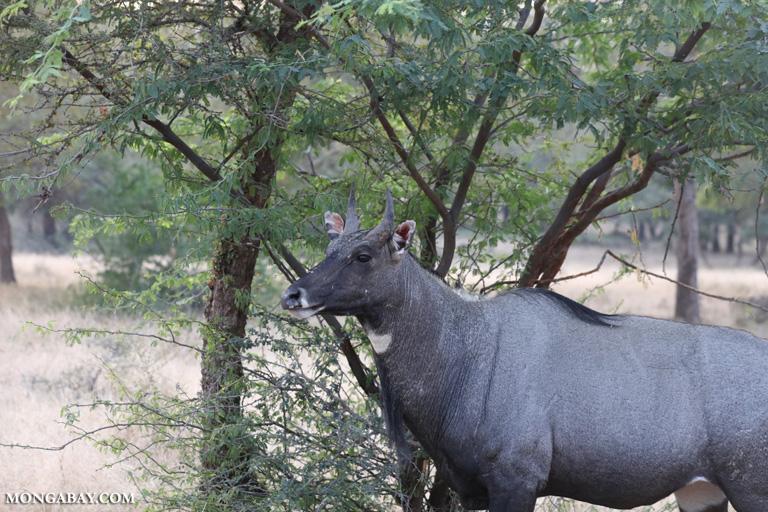 Blue bull (Boselaphus tragocamelus)