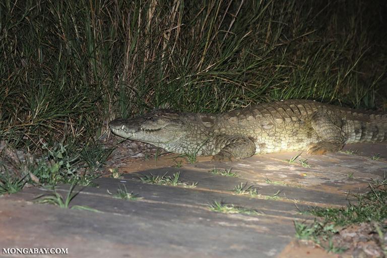 Giant marsh crocodile