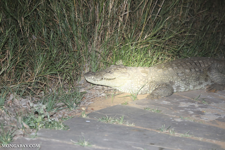 Giant marsh crocodile