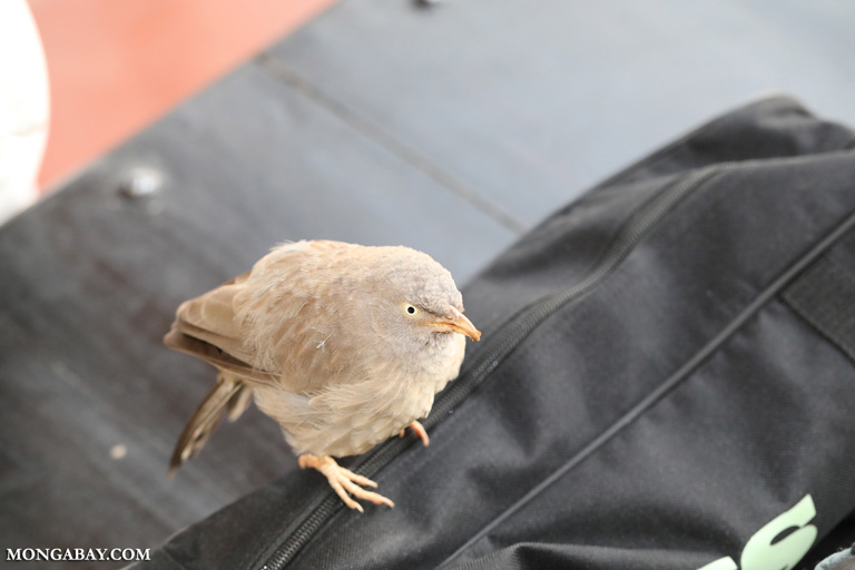 Jungle babbler (Turdoides striata)