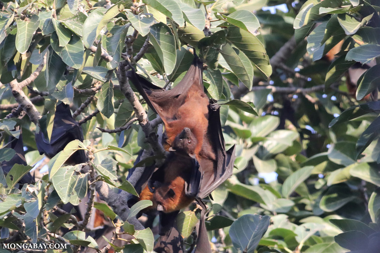 Flying fox colony