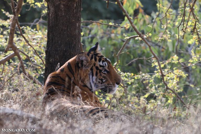 Female tiger