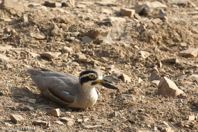 Great stone-curlew (Esacus recurvirostris)