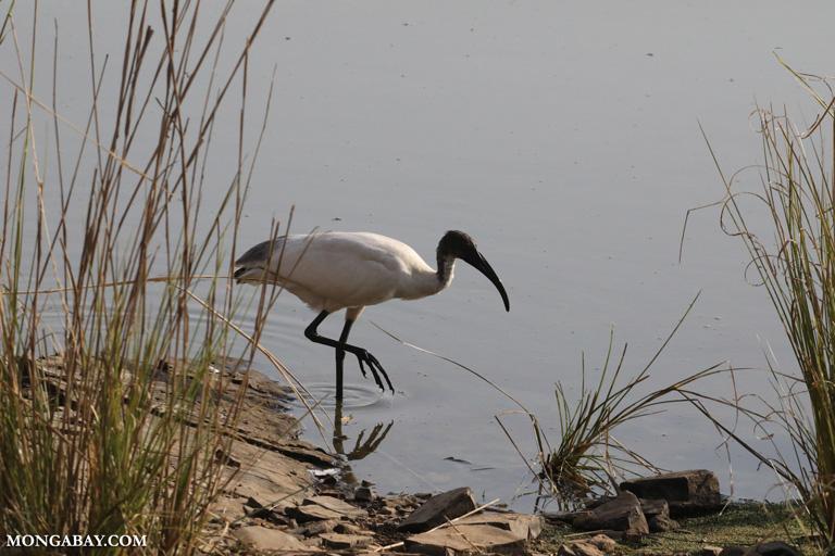 Black-headed ibis (Threskiornis melanocephalus)
