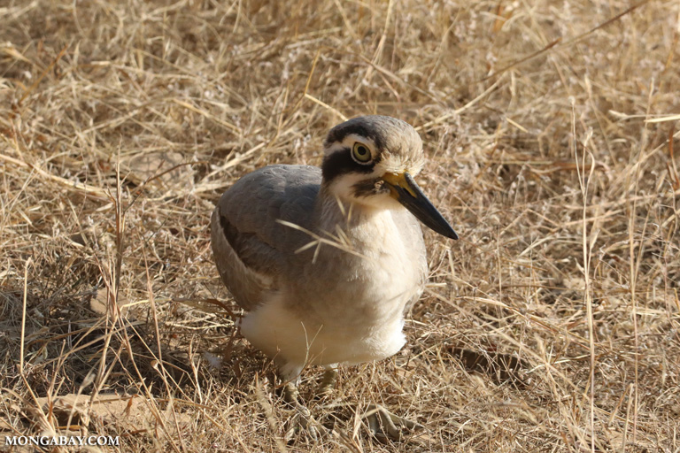 Great thick-knee (Esacus recurvirostris)