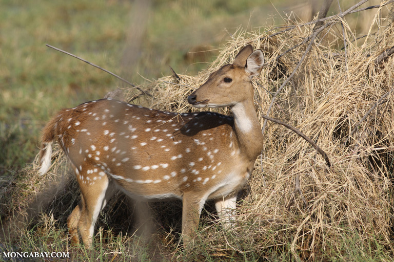 Spotted Indian deer