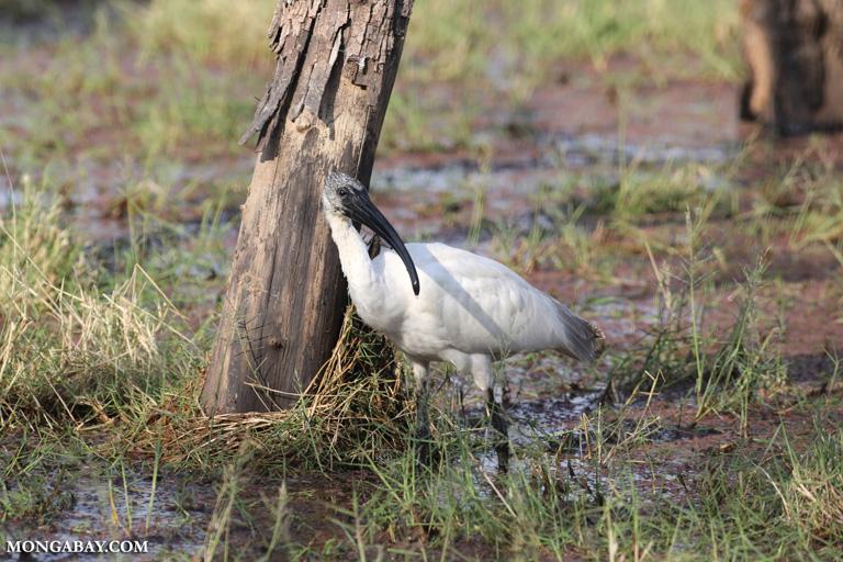 Oriental white ibis (Threskiornis melanocephalus)