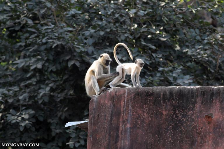 Gray langurs grooming