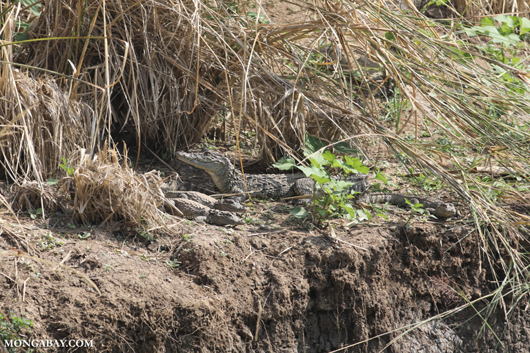 Mother marsh crocodile with offspring