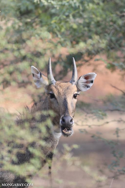 Male chinkara antelope