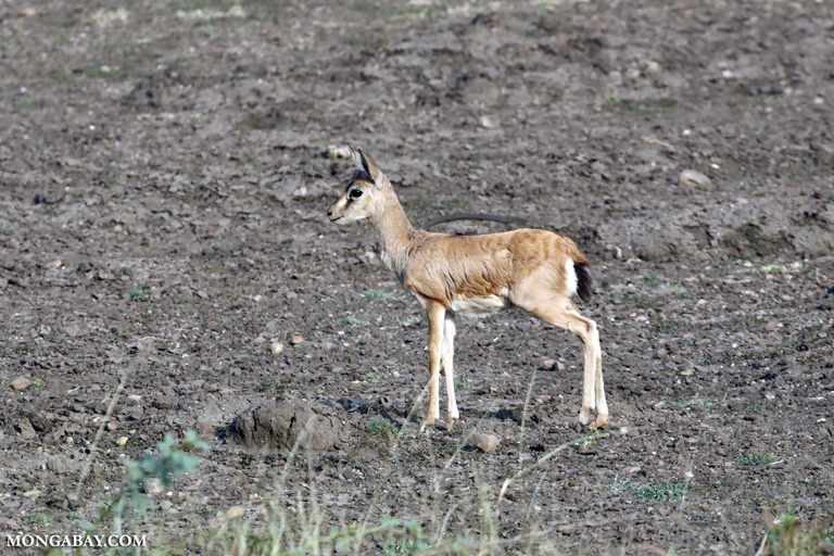 Young chinkara antelope