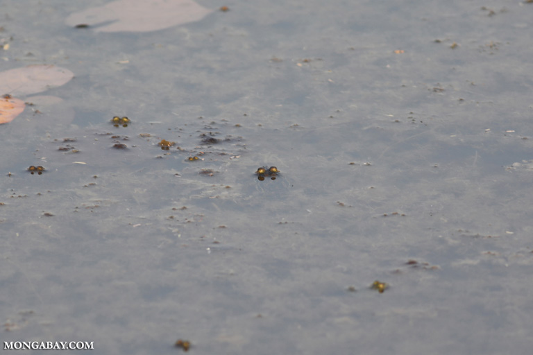 Frogs in a lake in India