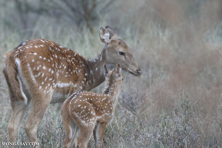 Chital with fawn