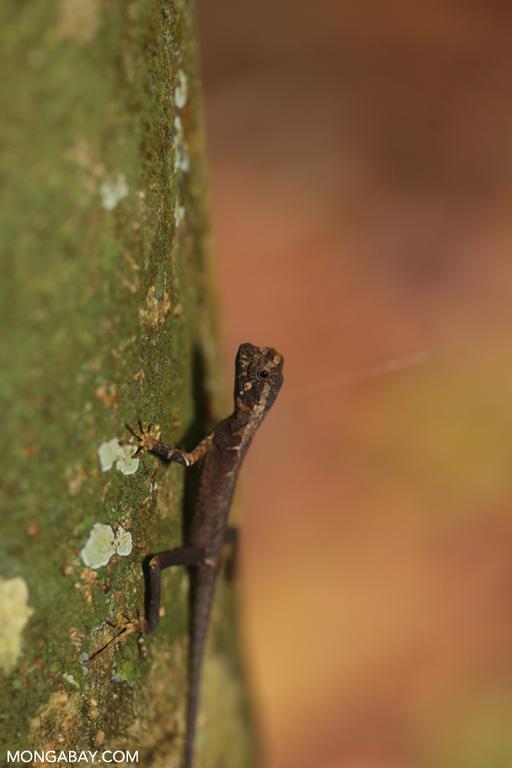 Rainforest lizard in Sumatra