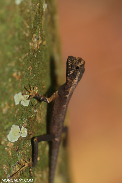Rainforest lizard in Sumatra