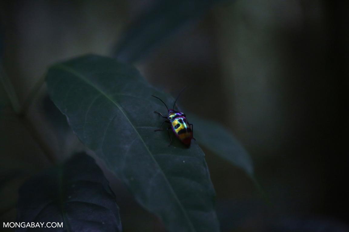 Red-orange beetle