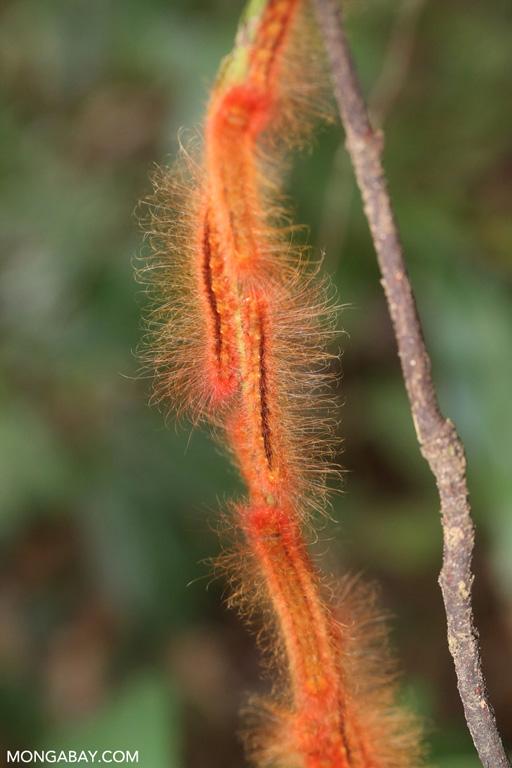 Orange caterpillars