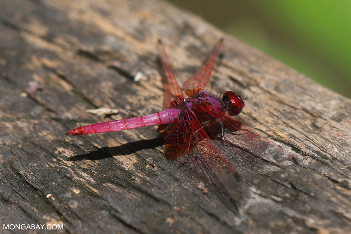 Raspberry grasshawk