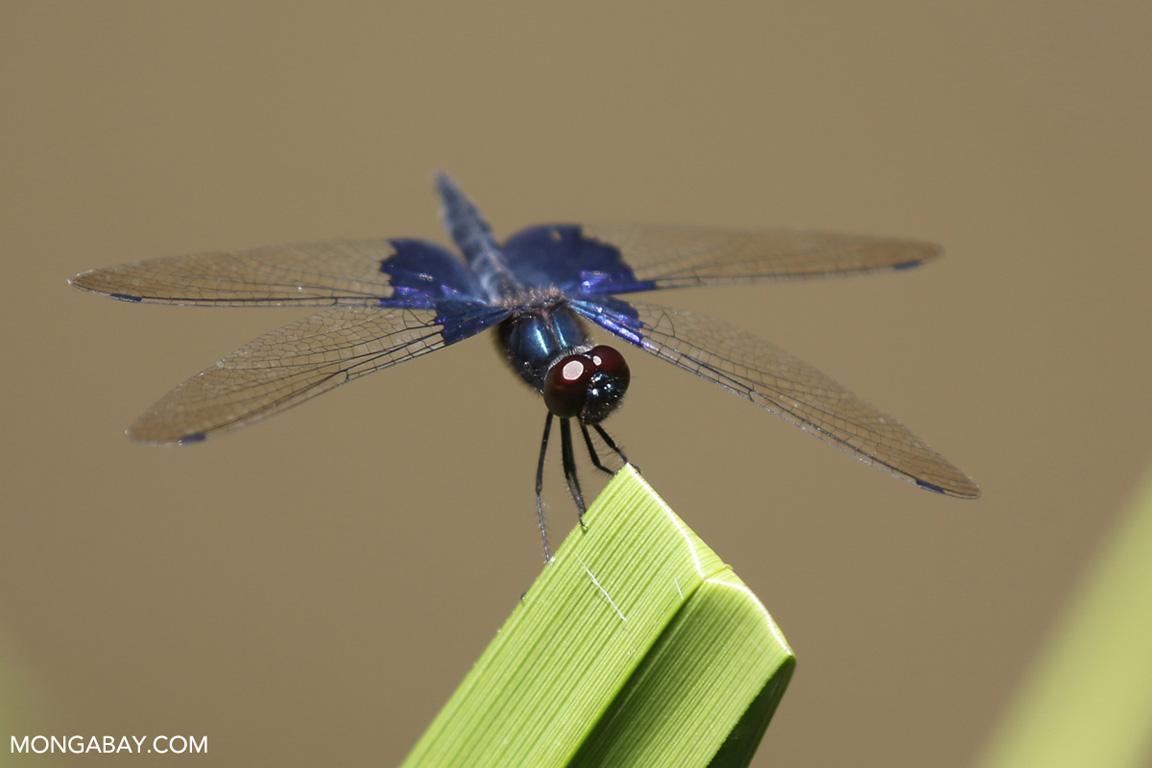 Purple grasshawk