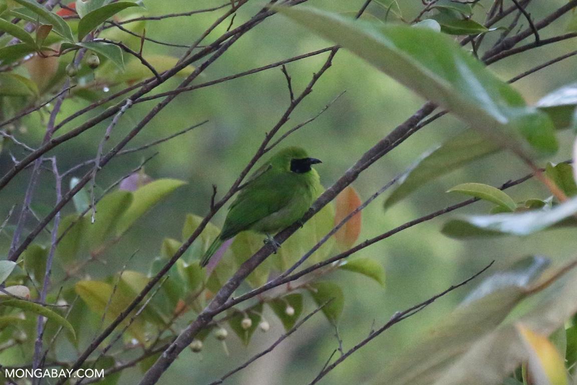 Green and black bird