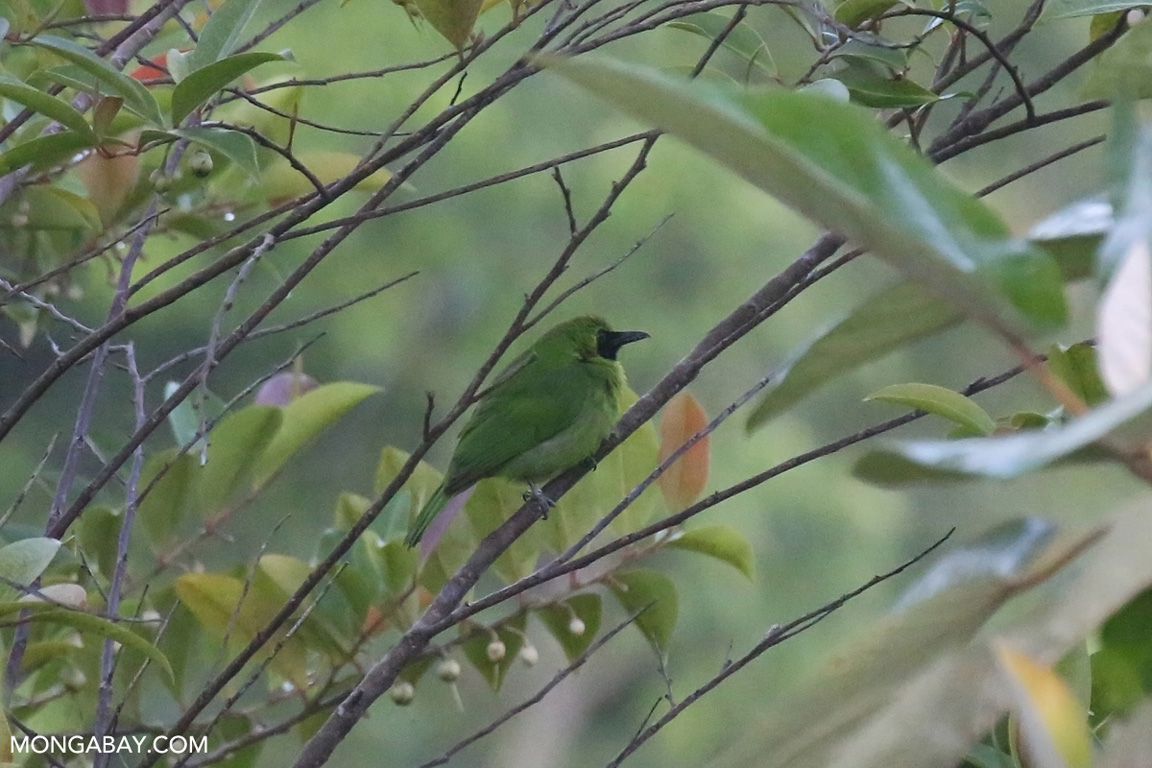 Green and black bird